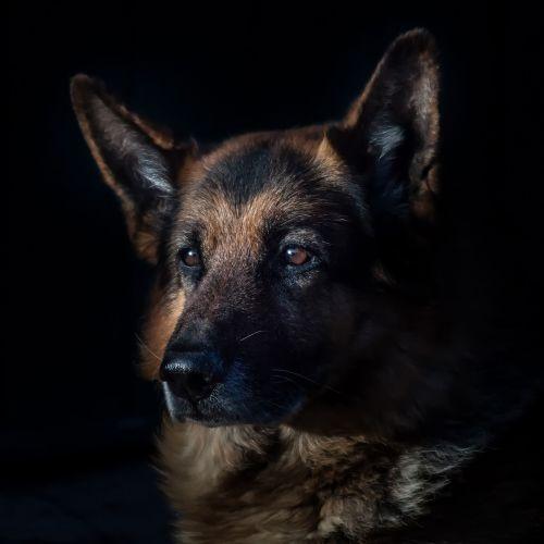 animal-canine-cute-dog-236622