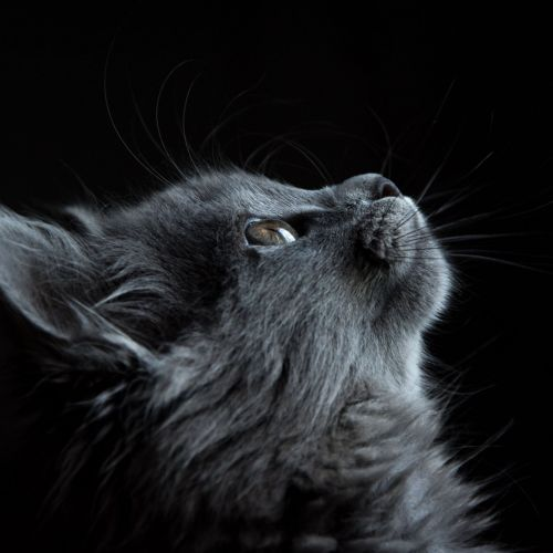 photo-of-gray-cat-looking-up-against-black-background-730896